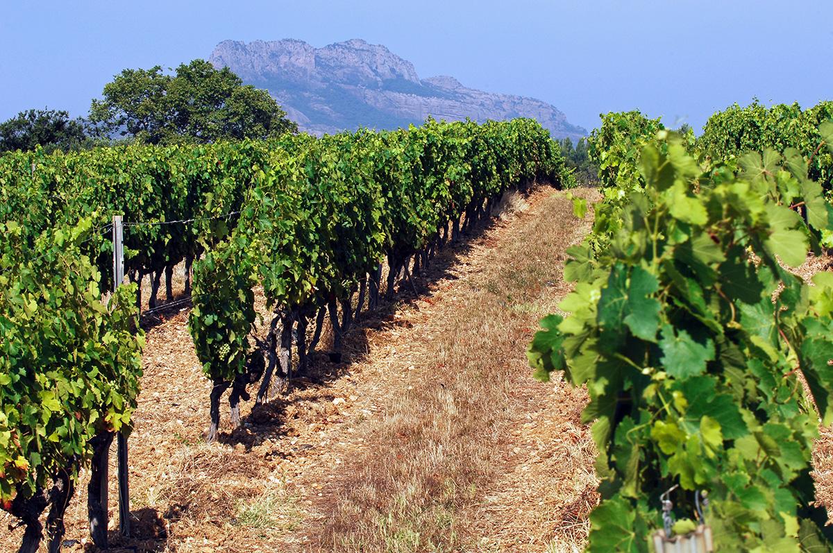 Vignes Domaine-du-Bercail